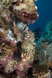 Une vue de côté commune adulte de lionfish (milles de Pterois) Photographie stock libre de droits