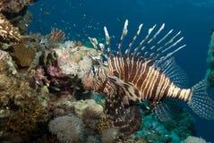 Une vue de côté commune adulte de lionfish (milles de Pterois) Photos libres de droits
