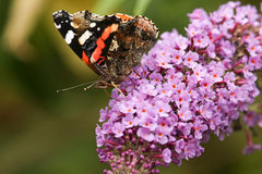 Une vue de côté d'un bel atalanta d'amiral rouge Butterfly Vanessa était perché sur une fleur de buddleia avec son nectaring ferm Photo libre de droits