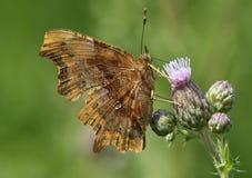 Une vue de côté d'un c-album de Polygonia de papillon de virgule Photographie stock