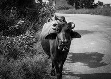 Une vue de contraste d'un buffle indien marchant sur la rue de village photographie stock libre de droits