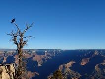 Une vue de Grand Canyon avec Raven sur un arbre photographie stock