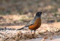 Une vue de plan rapproché d'un Américain à gorge rouge Robin vers la fin d'automne sur un fond des feuilles tombées près de Grand Photos libres de droits