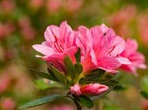 Une vue de plan rapproché d'un groupe de fleurs roses d'Azelea images libres de droits
