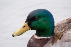 Une vue de plan rapproché des canards d'un canard se dirigent image stock