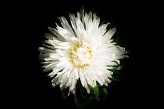 Une vue en gros plan de fleur blanche d'astrose de ci-dessus sur un fond foncé photographie stock