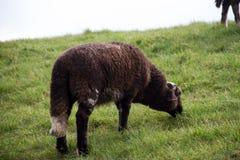 Une vue plus étroite sur une graminée fourragère de moutons noirs dans l'emsland Allemagne du rhede SME photo libre de droits