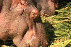 Une vue principale d'hippopotame image libre de droits