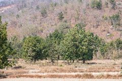 Une vue très étroite des arbres indiens semblant impressionnants dans une forêt rurale pendant la saison d'été photographie stock