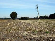 Une zone de maïs Photographie stock libre de droits