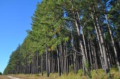 Une zone de plantation de pin de radiata avec la piste d'accès Photographie stock libre de droits