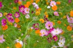 Une zone des fleurs de cosmos Photographie stock libre de droits