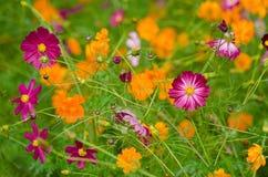 Une zone des fleurs de cosmos Photo libre de droits