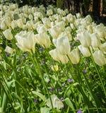 Une zone des tulipes Photographie stock