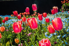Une zone des tulipes Image libre de droits
