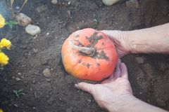 Unearthing a ripe pumpkin from the ground Stock Images