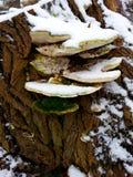 Uneatable drzewo ono rozrasta się w Luty obrazy stock