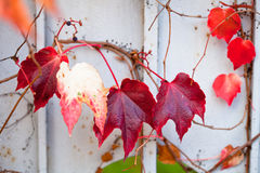 Uneatable grape vine branch with leafs on the wall Royalty Free Stock Photos