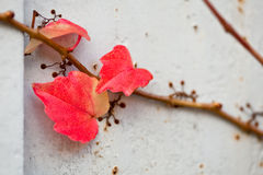 Uneatable grape vine branch with leafs on the wall Royalty Free Stock Images