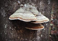 Unedged mushrooms growing on a tree trunk stock image