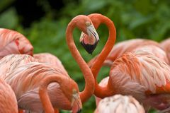Two flamingoes form a heart shape with their necks. This unedited photo shows two flamingoes forming a romantic heart shape with their necks stock photos