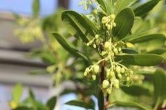 Unedo Arbutus (δέντρο φραουλών) στο φως του ήλιου Στοκ φωτογραφίες με δικαίωμα ελεύθερης χρήσης