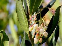 Unedo Arbutus, δέντρο φραουλών Στοκ εικόνα με δικαίωμα ελεύθερης χρήσης