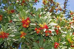 Unedo arbutus δέντρων φραουλών, φρούτα Στοκ Φωτογραφία