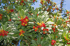 Unedo del arbutus del árbol de fresa, frutas Fotografía de archivo