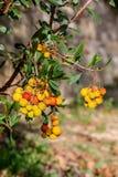 Unedo treeArbutus клубники с концом-вверх ягод стоковые фото