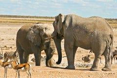 Unentschieden der afrikanischen Elefanten am waterhole Stockfotos