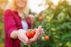 Unerkennbare blonde Frau, die reife Tomate in ihrer Hand hält Lizenzfreies Stockbild