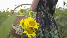Unerkennbares dünnes Mädchen, das Blumen im großen Weidenkorb im Sonnenblumenfeld geht und auswählt Verbindung mit stock footage