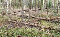 Unerwünschter Sturm besucht im jungen Kiefernwald lizenzfreie stockfotos