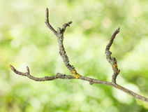 Uneven dry twig Royalty Free Stock Photo