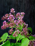 An unexpanded branch of lilac. Close-up of an unexpanded branch of lilac Stock Images