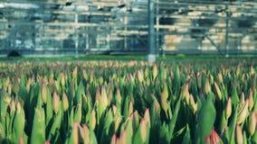 Unexpanded växa för tulpanblommor i jordning inom ett växthus stock video