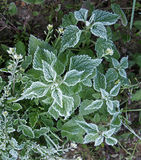 Unexpected first frost - hoarfrost on the leaves of nettle Royalty Free Stock Photography