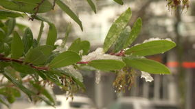Unexpected snow falling green tree. Heavy snowfall close up tree branch stock video footage
