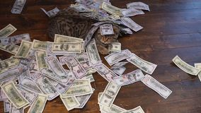 Unexpected wealth. A lot of money falls on the cat stock footage