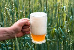 Unfiltered light beer in beer glass, growing malt. Unfiltered light beer in beer glass is held by a man`s hand, against the background of growing in the field of Royalty Free Stock Photography