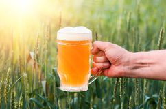 Unfiltered light beer in beer glass, growing malt. Unfiltered light beer in beer glass is held by a man`s hand, against the background of growing in the field of Royalty Free Stock Images