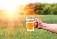 Unfiltered light beer in beer glass, growing malt. Unfiltered light beer in beer glass is held by a man`s hand, against the background of growing in the field of Stock Images