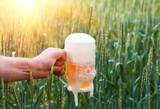 Unfiltered light beer in beer glass, growing malt. Unfiltered light beer in beer glass is held by a man`s hand, against the background of growing in the field of Stock Photo