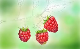 Unfinished art rospberry. Unfinished art, rospberry, hand drawn, nice background, three rospberry, plant, the fruit, berry fruit, hand made Stock Images