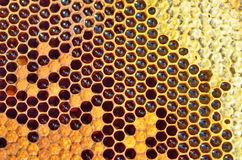 Unfinished honey in honeycombs Stock Photos