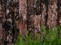 Unfinished Pine board with Juniper, cut, close-up, bark, knots, texture of bark wood use as natural background, old royalty free stock images