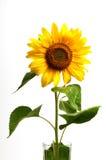 Unflower, isolado no branco Fotografia de Stock Royalty Free