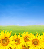 Unflowers over green field and blue sky Royalty Free Stock Photo