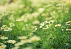 Unfocus weiße Blume der Gänseblümchen mit Naturleuchte Stockfotos